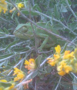 El Parri – Un camaleón curioso.